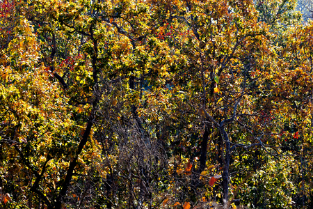 saturation: Forest in autumn with falling leaves and saturation color by back lighting from hard sunlight. Stock Photo