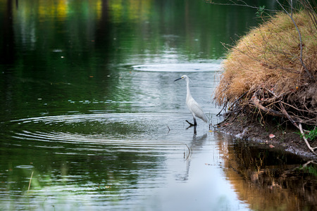 glare: White Little Egret wait and glare at water for catch fish at riverside.Wave and reflect on water surface.