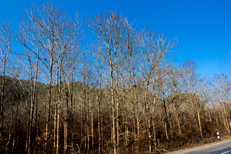 scarp: Para rubber plantation in Laos, Only brown stem,fall leave, at summer season. Stock Photo