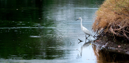 ciconiiformes: White Little Egret wait and glare at water for catch fish at riverside.Wave and reflect on water surface.