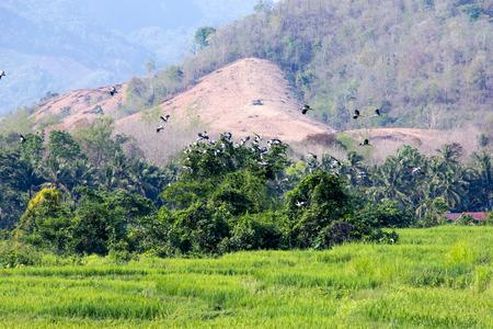 waver: Wide rice field begin young ear of rice, near farmer village on away in Laos.