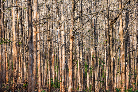 Para rubber plantation in Laos, Only brown stem,fall leave, at summer season Stock Photo