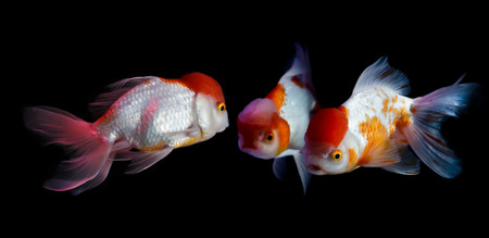 saturate: Three Goldfish face to face, Saturate color with aquarium display lighting.