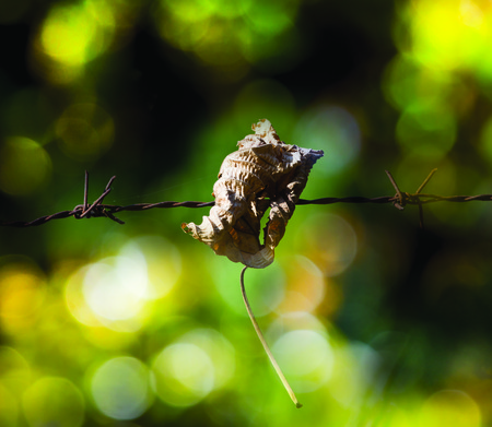 meshed: Brown dry leaf stuck on barbed wire. Background are colorful bokeh. Stock Photo