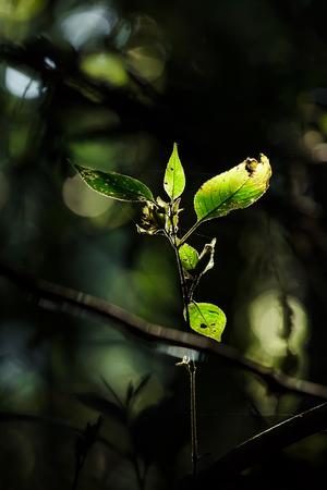 back lighting: Green leaves on dark background with back lighting.