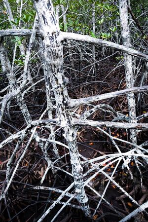 the flood tide: Mangrove forest at low�tide time. show root and trunks. Stock Photo