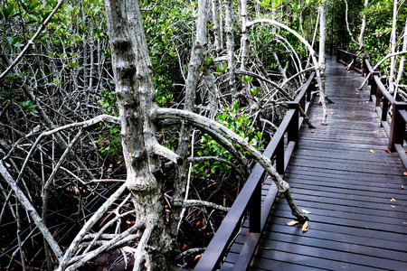 the flood tide: Wood bridge, Boardwalk for nature trail in mangrove forest.