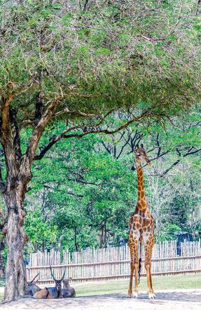 necked: Giraffe, the long necked, Stand under tree shade.