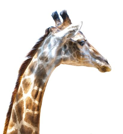 necked: Giraffe, the long necked, Close up neck and head.