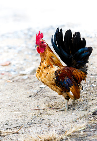 feed up: The bantam while look for something feed, close up shot. Stock Photo