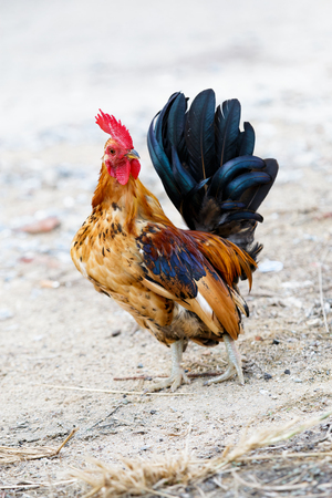 bantam hen: The bantam while look for something feed, close up shot. Stock Photo