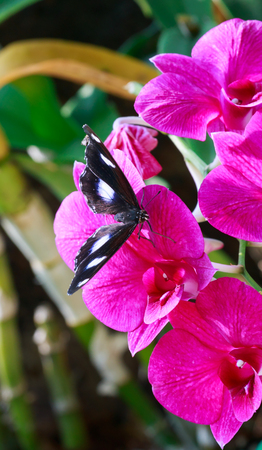 leafage: Black butterfly hold on pink orchid in garden.