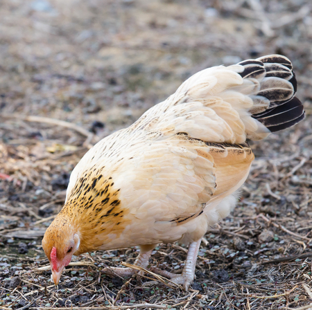 bantam hen: The hen while look for something feed at courtyard.