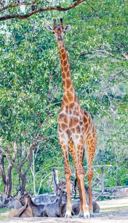 stood: The giraffe stood under shad tree background are bush. Stock Photo