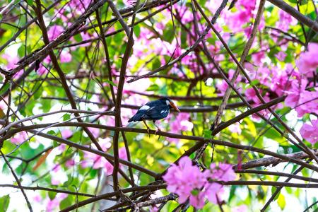 atrapar: The black collared starling catch bougainvillea branch. Foto de archivo
