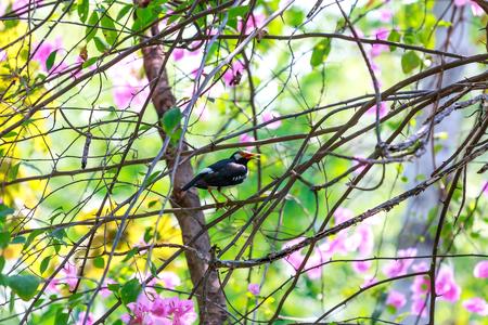 by catch: El negro con cuello de captura estornino rama buganvillas.