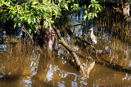 the flood tide: Chinese Pond Heron calmly stand on  mangrove stem while sea flood tide.