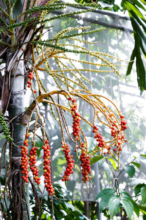 red palm oil: Red ripe betel nut red balls, The betel palm tree.