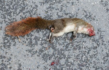 Squirrel dead lay on road by car accident. 版權商用圖片