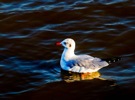 winter escape: One seagulls float on sea, Little wave and reflection on water with sunset.