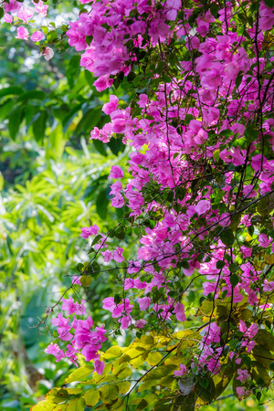 back lighting: Pink Bougainvillea in back lighting, colorful and vivid.Flower from Brazil.