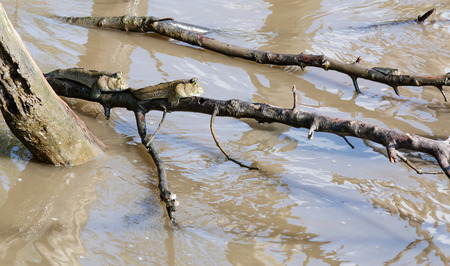 the flood tide: Two mudskippers  climb on  mangrove stem while flood tide. Stock Photo