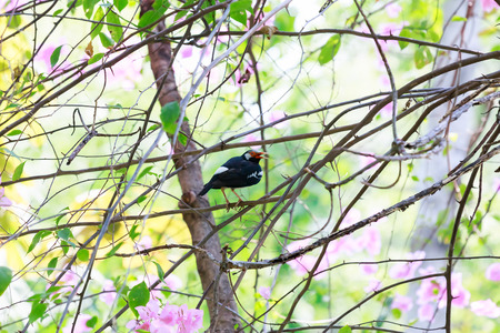 contra: Pied Myna, The sing a song bird  in the garden, catch on branch.