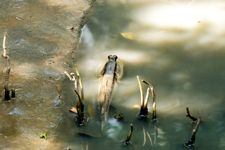 Mudskipper in mangrove forest,float with head showing up water,body in water. Stock Photo