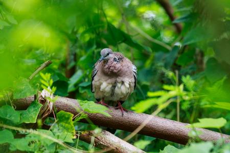 primp: Spotted necked Dove catch the twigs in the tree bush.