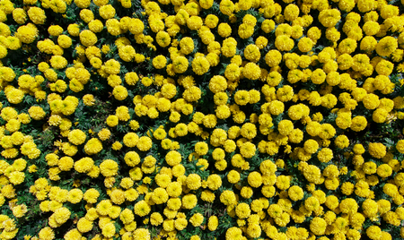 marigolds: Yellow Marigolds in the garden.Top view shot.