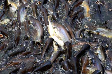 Iridescent shark or Catfish plentifully snatch  jump to feed.