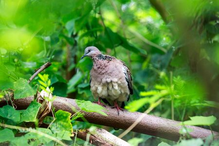 preen: Spotted necked Dove catch the twigs in the green tree bush.