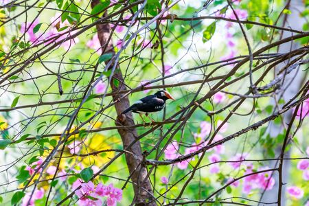 song bird: Pied Myna, The sing a song bird  in the garden, catch on branch.