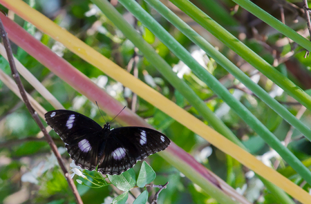 bunchy: Closeup black butterfly while hold on green leaf.