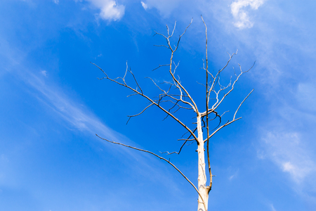 Dried tree on blue sky and white cloud, drought by the warm phase of the El Nino.