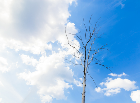 whose: Dried tree on blue sky and white cloud, drought by the warm phase of the El Nino.