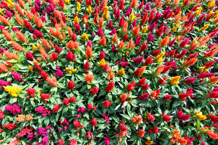 More colorful Celosia Flower abound in garden, close up and top view shot.