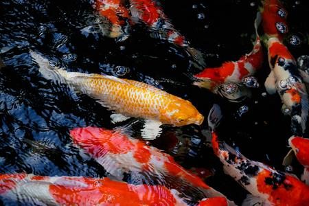 Beaucoup de Koi ou de Carp, nagent dans l'eau de réflexion d'ondulations. Banque d'images