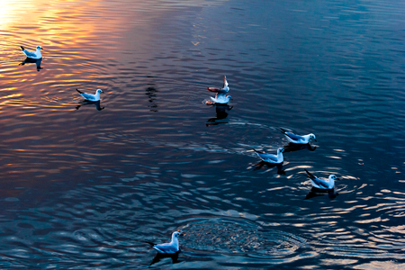 winter escape: The thousands of seagulls that winter escape from Siberia to Tropic zone, swim in the sea at sunset. Stock Photo