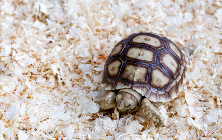 Young Sulcata Tortoise. Kine of turtle species,African spurred tortoise.