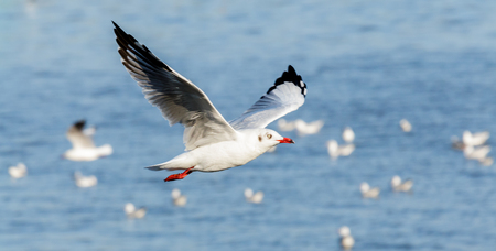 siberia: : Winter escape seagulls from Siberia while flying on the sea of Tropic zone. Stock Photo
