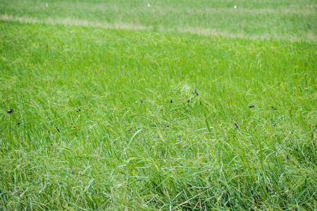 Birds in rice farm, Green Leaf and young green ear of rice.