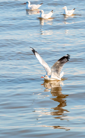 Seagulls spread the wings to swoop and landing on water,Then float on wave. 版權商用圖片