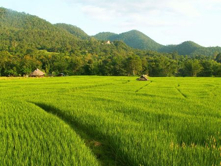 Green rice field in northern Thailand