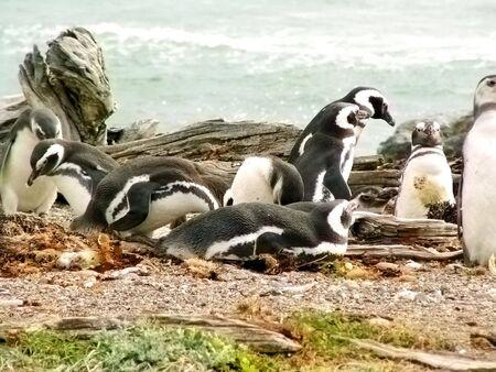 arenas: Magellan penguin near Punta Arenas, Chile