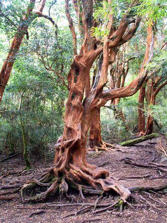 bariloche: Arrayan tree in Bariloche region, Argentina