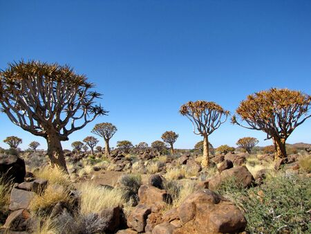 quiver: Quiver tree (Kokerboom) Forest in Namibia