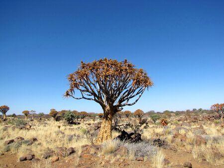 quiver: Quiver structuur (ook bekend als Kokerboom) in Namibië