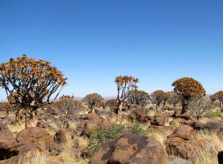 quiver: Koker boom (Kokerboom) bos in Namibië