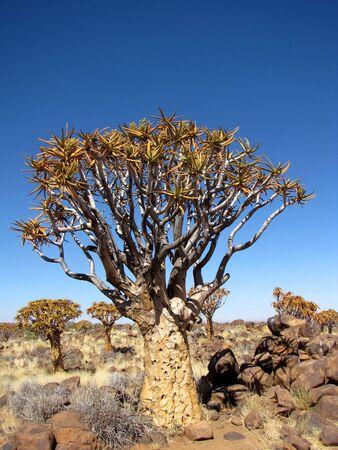 quiver: Quiver tree (ook bekend als Kokerboom) in Namibië